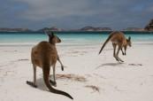 Klokani na pláži, Perth Austrálie