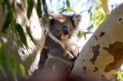 Koala, jeden ze symbolů Austrálie, Lexis Brisbane