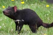 Symbol Tasmánie - tasmánský čertík, SACE Hobart Austrálie